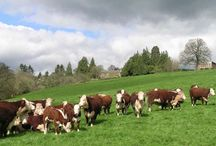Hereford cattle / by Deanna Parks