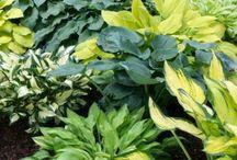 Schaduwplanten / Hosta