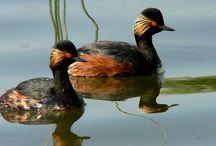 Les espèces patrimoniales de Sologne /  Il s'agit des espèces d'oiseaux qui se reproduisent en faibles effectifs sur l'ensemble du territoire national et de manière peu abondante en Sologne ou celles pour lesquelles la Sologne est un lieu important au niveau national. http://www.sologne-nature.org/l-association/adh