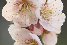 Cherry Flower