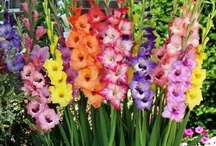 ♢GLADIOLUS FLOWER ♡♢ / This board contains pictures of various gladiolus flowers posted by our group board members. I hope you enjoy this board :-) Charl ( comments welcome )