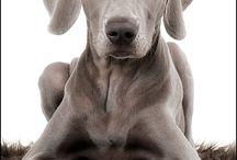 Weimar dogs