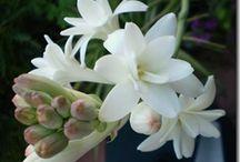 Flores / Peonias  y nardos