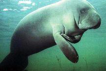 Manatee, Dolphins & Dugongs