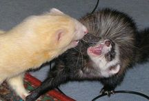 Tips/Tricks  / Fun ways to take care of your Ferret! :) / by Ferret.com