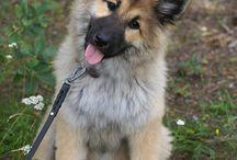 dogs eurasier