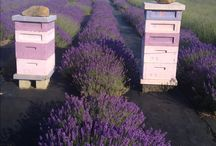 Bees in lavender field