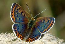 Lov motýlů / Vlastní fotografie motýlů žijící na Moravě, především na Hodonínsku