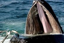 Humpback whales and seagulls / Commensalism