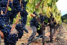 40th Napa Harvest / by Joseph Phelps Vineyards