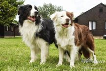 Red Bicolor Aussies with partner white(Maya) and other colors