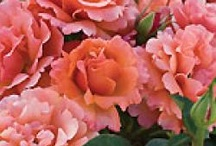 Our Rose Collection / Grow your own roses to stop and smell