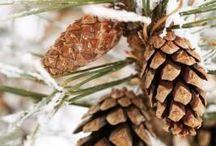 Native Tree Project: Pinon Pine