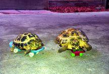 Future Tortoises