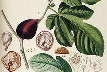 Botanical Biology / Semi- industrial & Folk Traditional