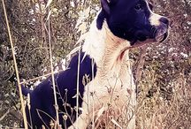 American Staffordshire terrier / frank's of ast new story Crystal