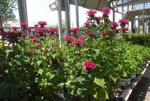 Perennials 2015 / Gorgeous perennials for your home
