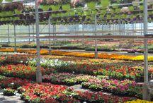 Production de fleurs / Les plantes grandissent à vue d'oeil dans nos serres, nous publions régulièrement des photos pour que vous puissiez voir évoluer vos variétés préférées