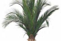 Les Palmiers Stabilisés / Découvrez les palmiers stabilisés que propose Nature-Stabilisée. La magie des plantes stabilisées réside dans le fait que ce sont des plantes naturelles et qu'elles ne nécessitent aucun entretien. Plus d'infos sur notre site internet