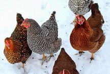 Chicken / chicken coop