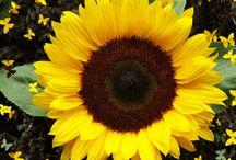 SUNFLOWERS / Varieties & Colours