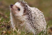 Hedgehog fever