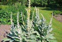 rastliny -byliny