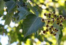 Trees - Deciduous  / Photos of deciduous ornamental and shade trees at Urban Tree Farm Nursery.