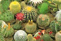 Flores de cactus, suculentas e echeverias
