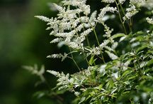 Astilbe / by Shoot Limited