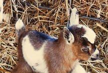 Paulonna the goat