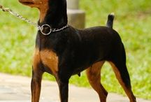 Min pin and Boston terriers / Dogs / by Genice Rill