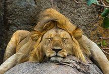 Leijona minussa
