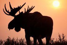 Rendieren en elanden
