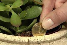 planta do dinheiro