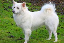 Dansk spids samt hundetilbehør