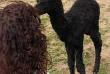 Crias 2015 (baby alpacas) / Crias born on our farm.