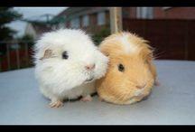 Guinea pig / morča