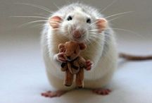 ┼ R@T ┼ / Porkan Rat