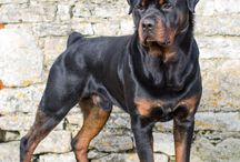 Rottweiler Love / We want to showcase this breed because of their devotion and loyalty. Beautiful Canines!