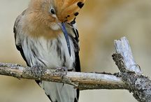 Aves ibéricas