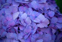 Hydrangea / Because I love them. They remind me of my Mum and holidays in Cornwall.