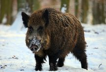 ANIMAL • Boar