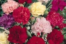 Cut flowers - traditional look / Flowers for a cutting garden to add to a traditional floral design look for bouquets and arrangements