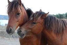 The little horse of Skyros