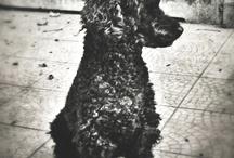 My Princess Poodle Daisy