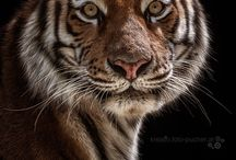 Tiger / The best animals in this world