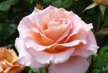 Rose Festival / Roses