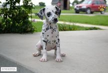 Dalmations / http://www.buckeyepuppies.com/puppies-for-sale-bep/dalmatian