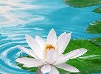 lotus and iris / flowers